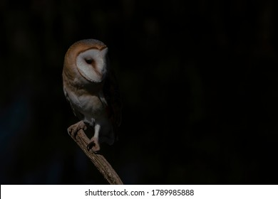 Beautiful Barn owl (Tyto alba) sitting on a branch. Dark black background. Noord Brabant in the Netherlands. Looking in the camera. Night shot.