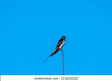 Beautiful barn swallow sitting on the top of a weather vane