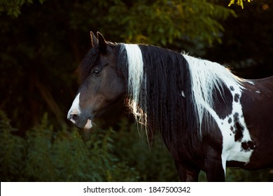 Beautiful barock pinto tinker horse black and white color on meadow with very long mane portrait standing and troting on meadow