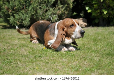 Beautiful Basset Hound purebred dog