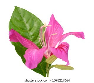 beautiful Bauhinia purpurea flower (Camel's foot flower) isolated on white background