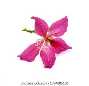 beautiful Bauhinia purpurea flower (Camel's foot flower) isolated on white background