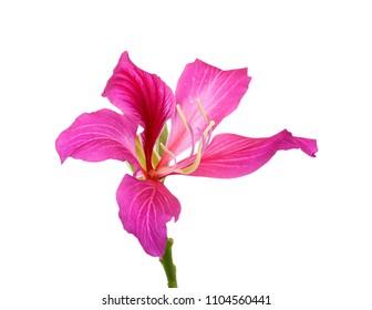 beautiful Bauhinia purpurea flower isolated on white background