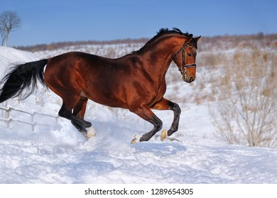 Beautiful bay horse galloping in winter field