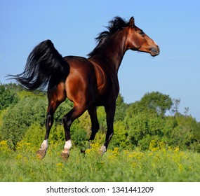 A beautiful bay horse jumps in a field against a blue sky. The exercise of a sports horse. Stallion runs free