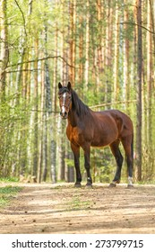 Beautiful bay horse posing in a spring forest.