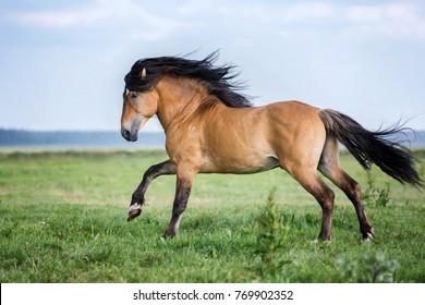 Beautiful bay horse running gallop.