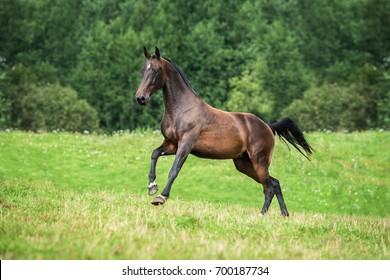 Beautiful bay horse running on the pasture