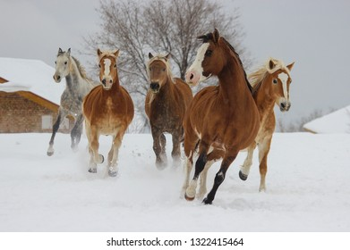 A beautiful bay horse runs off several blond horses in the winter in the snow, an Argentinian, Orlov trotter, a haflinger and other horse breeds