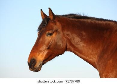 Beautiful bay latvian horse portrait on sky background