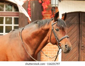 beautiful bay sportive stallion autumn  portrait near stable
