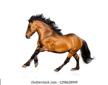 Beautiful bay stallion isolated over a white background