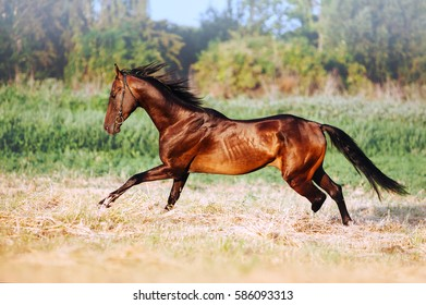 Beautiful bay stallion with long mane galloping. The horse in motion running across the field on a neutral background