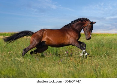 Beautiful bay stallion run on the meadow