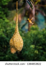 the beautiful Baya Weaver's nest in Malaysia. Image is selective focus