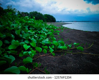Beautiful Beach Plants Ipomea Pes Caprae Grow On The Beach At Umeanyar Village, North Bali, Indonesia