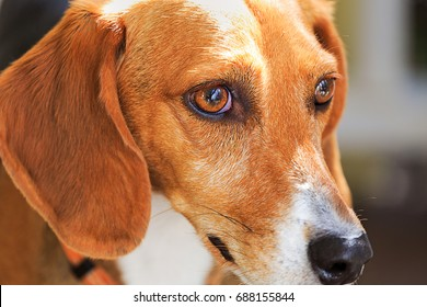 A beautiful Beagle dog closeup portrait looking to the right