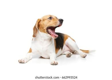 beautiful beagle dog isolated on white