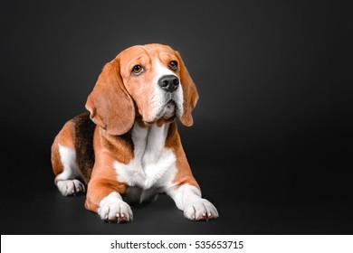 Beautiful beagle dog lying on a black background