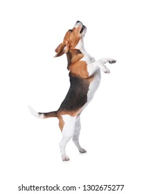 Beautiful beagle dog on white background. Adorable pet