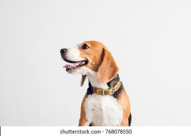 Beautiful Beagle dog on white background.