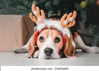 Beautiful beagle dog posing as a reindeer sits near a Christmas tree