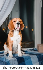 Beautiful beagle dog sitting beside boxes of Christmas gifts on the window on the background of night city lights