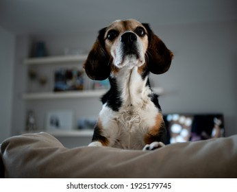 beautiful beagle dog sitting on the sofa at home in white color