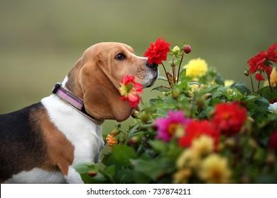 Beautiful beagle dog sniffs flowers