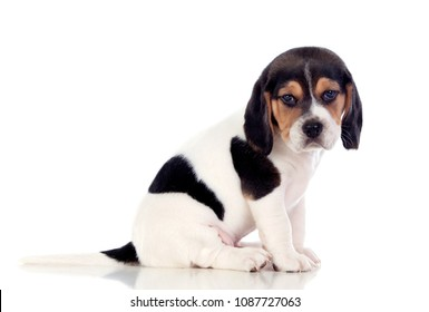 Beautiful beagle puppi brown and black isolated on a white background