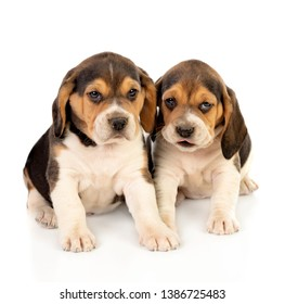 Beautiful beagle puppies brown and black isolated on a white background