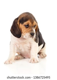Beautiful beagle puppy brown and black isolated on a white background