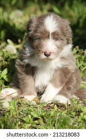 Beautiful bearded collie sitting in the grass