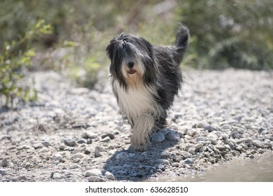 Beautiful Bearded Collie walking on beach in sunny summer day.