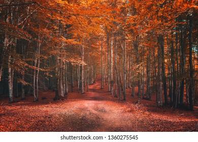 beautiful beech forest in autumn