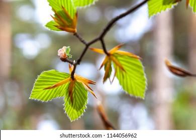 Beautiful beechtree leafs