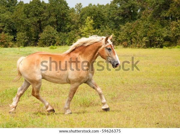 beautiful-belgian-draft-horse-uphill-600
