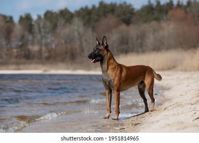Beautiful Belgian Shepherd dog breed in the sand