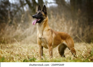 beautiful belgian shepherd malinois dog puppy in autumn background / Chien de Berger Belge