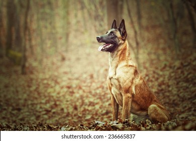 beautiful belgian shepherd malinois dog puppy in autumn background