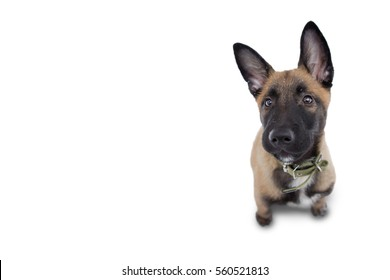 Beautiful Belgian shepherd sitting vyrazny on white background, raised his head up and looks at the master. Closeup of the muzzle Malinois dogs. Photos for design for a pet store and advertising