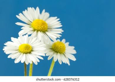 beautiful bellis perennis flower isolated on blue background