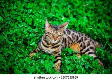 Beautiful bengal cat outdoor