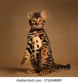 Beautiful bengal cat posing on the carmel gold background