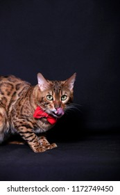 Beautiful Bengal cat with a red bow looks at you and lickens on a dark background