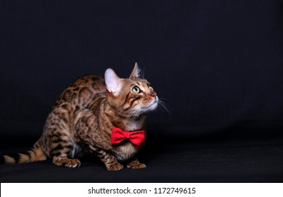 Beautiful Bengal cat with a red bow looks up on a dark background