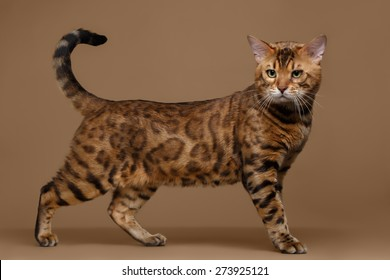 Beautiful Bengal Cat Stands on Brown background, side view