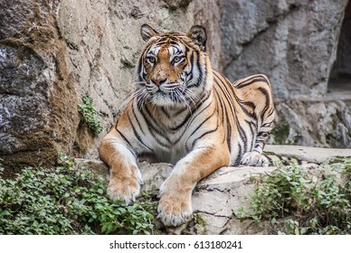 beautiful Bengal tiger, queen tiger