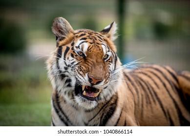 Beautiful Bengal tiger, showing his fangs