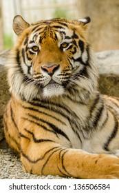 Beautiful Bengal Tiger striking a pose